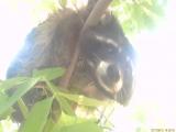 #ЕнотФрида в роли Вини Пуха, лезет на дерево к пчёлам за мёдом)))