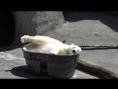 Белая Медведица резвится в кубиках льда