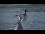 Утка на миллион / The Million Dollar Duck (2016) BDRip 720p [vk.com/Feokino]