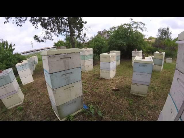 ПЧЕЛОВОДСТВО. Сколько мёда принесла одна семья на белой акации, сезон 2016 года.