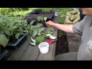 Черенкование малины 5 сортов эксперимент№2