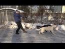 Догтренинг 3. Рвущаяся с поводка собака - что делать?