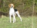 Русская гончая. Планета собак 🌏 Моя Планета