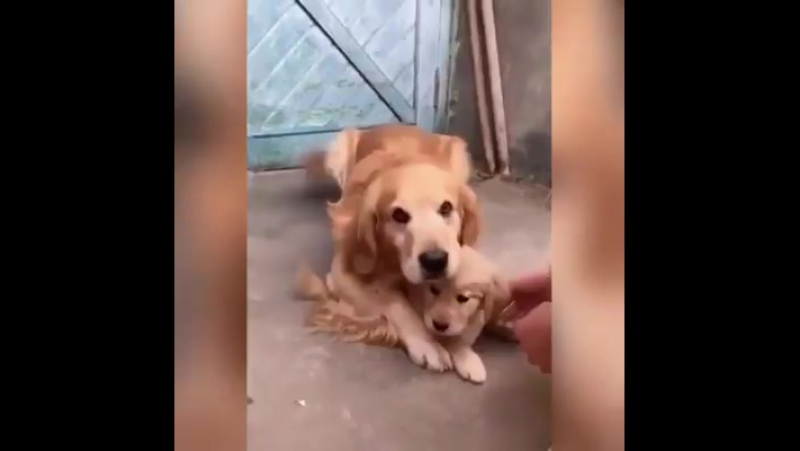 Мама собака оберегает своего малыша от навязчивых дядей :)