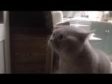 """Кот очень смешно говорит  """" открой дверь! """" ¦ cat asks to open the door  D"""