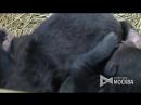 Новорожденные медвежата в  пос.Марьино (ТиНАО)
