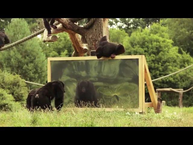 """""""Wie reagieren Schimpansen wenn sie sich selbst im Spiegel sehen"""" Der Serengeti-Park zeigt es!"""