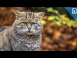 Лесного кота спасли из 3 капканов