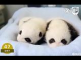 熊猫刚出生的一百天