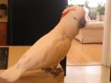 Попугай выбирает барабаны
