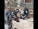 Лемуры в ростовском зоопарке