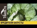 Вредители капусты как избавиться от гусениц и слизней 7 дач