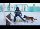 Южно Корейские клоны бельгийской овчарки Малинуа теперь на службе в УФСИН по РС Я