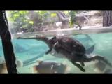 Черепаха катается на крокодиле)))) Хорошо устроилась