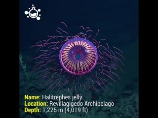 Одни из самых удивительных и необычных медуз