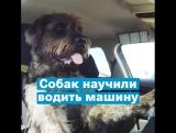Собак научили водить машину