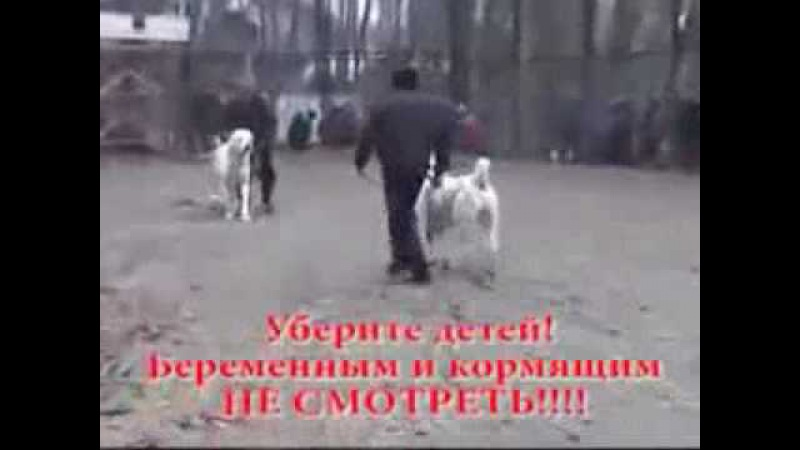 Жесткий собачий бой Кыргызстан алабай