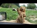Bears waving · coub, коуб