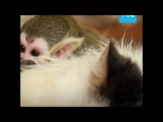 Кошка усыновила обезьянку - The cat adopted a monkey