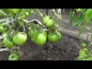 Помидоры сорта Севрюга, описание исходя из опыта выращивания