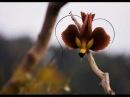 Birds of Paradise-Peter, Sue Marc