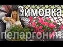Как сохранить уличную герань пеларгонию зимой Как заставить пышно цвести