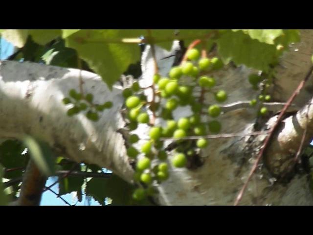 На южных березах растет виноград