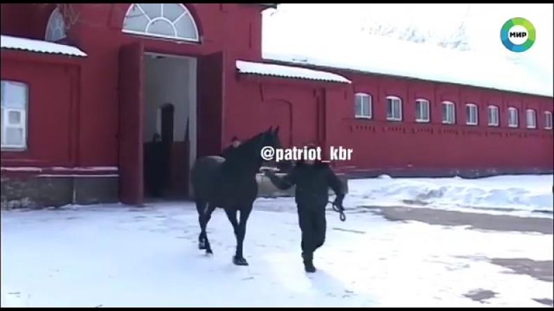 Кони тоже любят снег Малкинский конный завод. Кабардинская порода лошадей