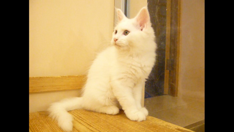 Кошечка мейн кун Янина 2.5 мес