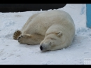 В Новосибирском зоопарке. Белая медведица