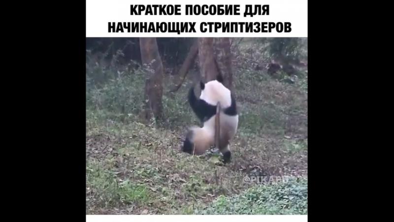 панда стриптезёрша