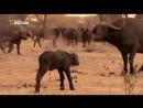 Львы Африки. Дикие животные. Мир природы. Документальный фильм National Geograph
