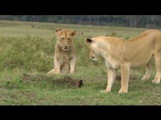 Львы и мангуст