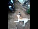 Бой. Собака vs Петух.