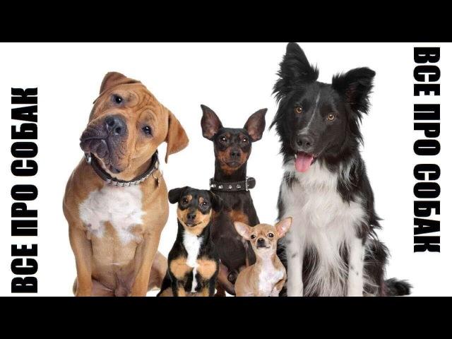 Порода русская гончая - Видео собаки породы собак dogs гончие русскаягончая
