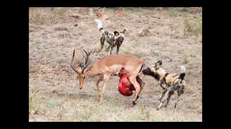 Deer vs Wild dog Fight to death - Linh dương tử chiến chó săn - Animals Attack Leopard , Lion ,hyena