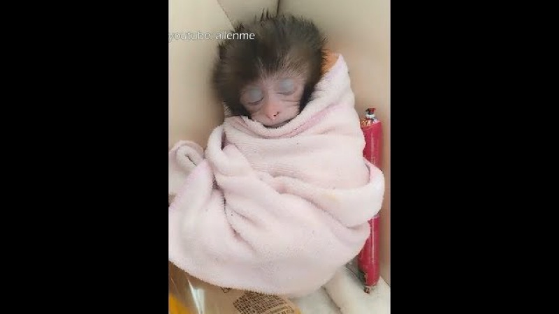 A group of lovely small monkey sleeping video, see my heart melt.