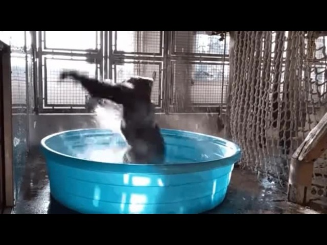 Gorilla enjoying a bath