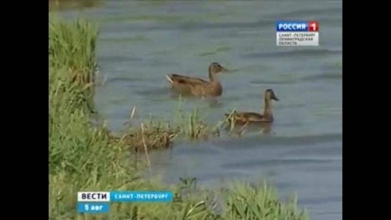 Парк Озеро Долгое - Вести Санкт-Петербург. (06.08.2014)