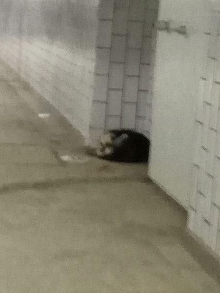 Москва!Срочно! Собака в переходе метро.Истощена,в ошейнике