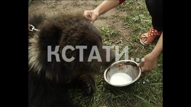 Хищное опекунство - жители Сергача взяли под опеку оголодавших живых медведей