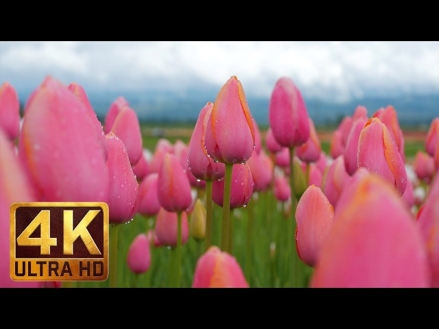 4K Flowers Video for Relaxation Piano Sounds - 3 HRS | Wooden Shoe Tulip Festival. Episode 2