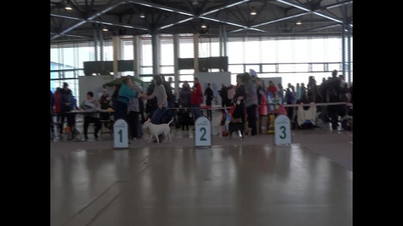 Монопородная выставка Бультерьер (ПК), 18.03.18 СПб