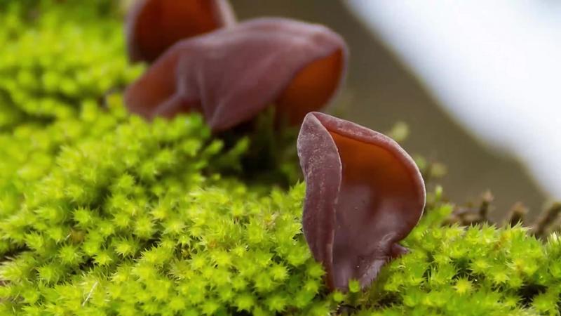 Нашла в лесу зимние грибы Аурикулярия уховидная