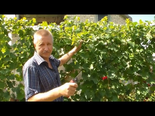 Август Чеканка виноградника