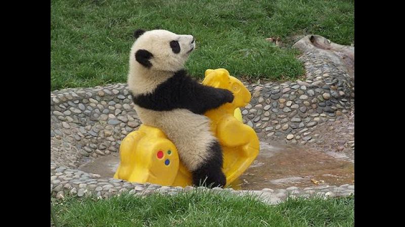 Video Panda Lucu Yang belum Pernah Ada Sebelum nya