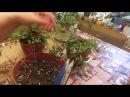 Осенняя обрезка ФУКСИИ и формируем штамбовый кустик