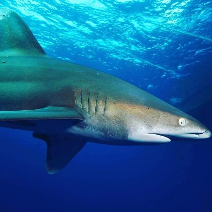 акула Матата