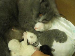 Сиамские котята\ возраст 1 неделя