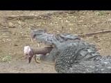 Молодой нильский крокодил вырывает антилопе гну берцовую кость